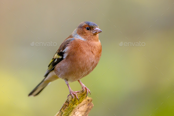 Male Chaffinch on green background - Stock Photo - Images