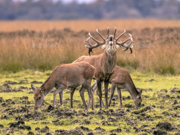 Belling Buck deer guarding hinds - Stock Photo - Images