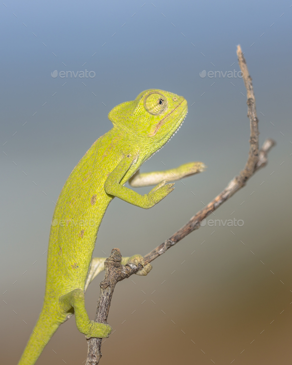African chameleon balancing on stick - Stock Photo - Images