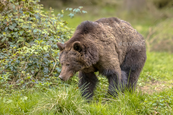 European brown bear foraging in forest habitat - Stock Photo - Images