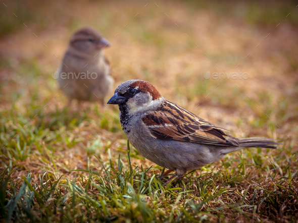 Couple of house sparrow - Stock Photo - Images
