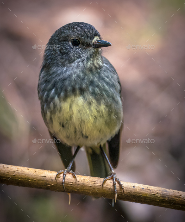Cute New Zealand robin perched on branch - Stock Photo - Images