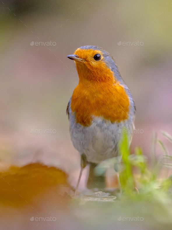 Red Robin in autumnal garden lawn - Stock Photo - Images
