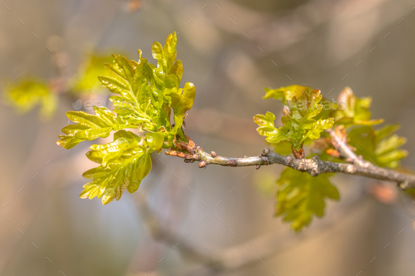 Sprouting oak leaves - Stock Photo - Images