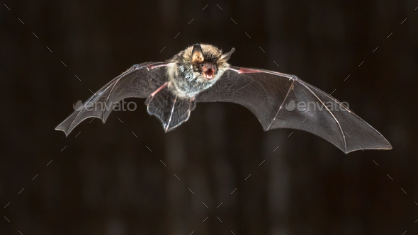 Flying Natterers bat at night - Stock Photo - Images