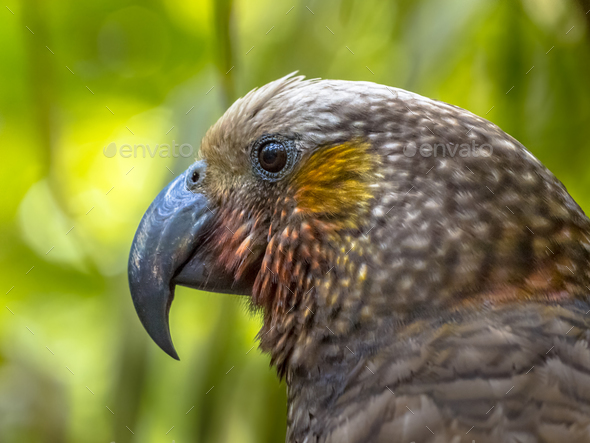 New Zealand endemic Kaka parrot - Stock Photo - Images