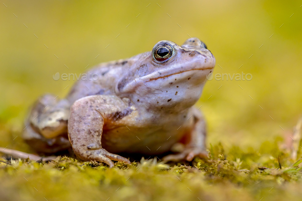 Blue Moor frog looking in camera - Stock Photo - Images