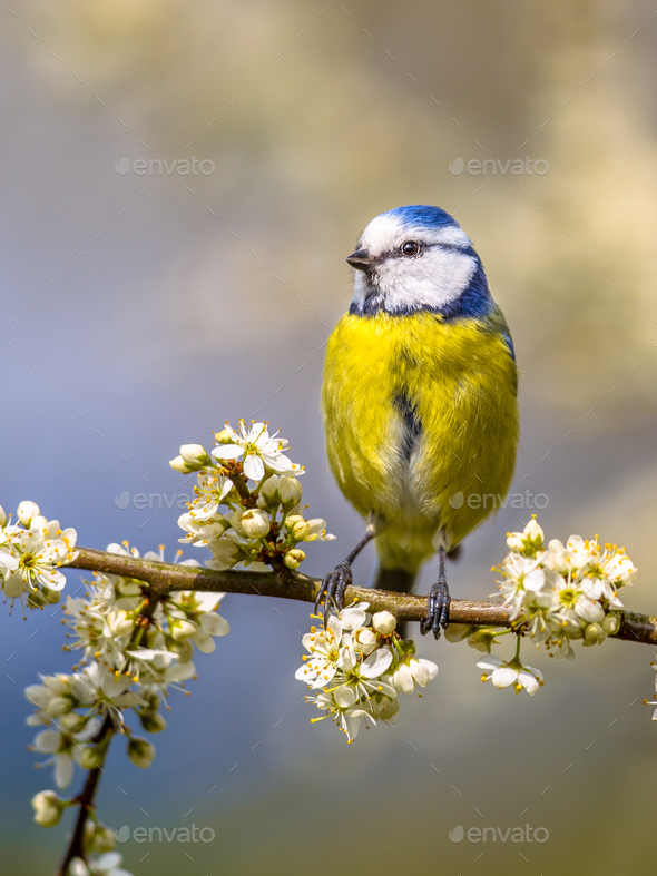 Blue tit portrait in blossom - Stock Photo - Images