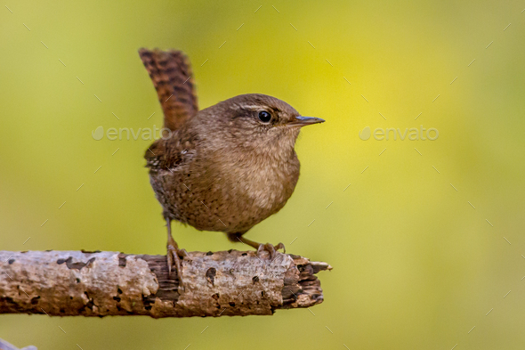 Eurasian wren on branch with green background - Stock Photo - Images