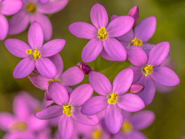 Centaurium flowers - Stock Photo - Images