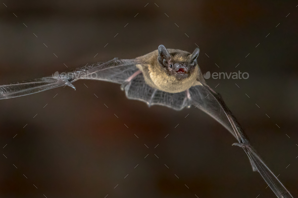 Close up of Flying Pipistrelle bat - Stock Photo - Images