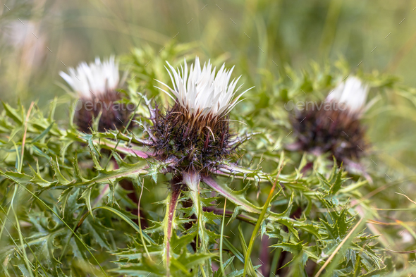 Silver thistle flowers - Stock Photo - Images