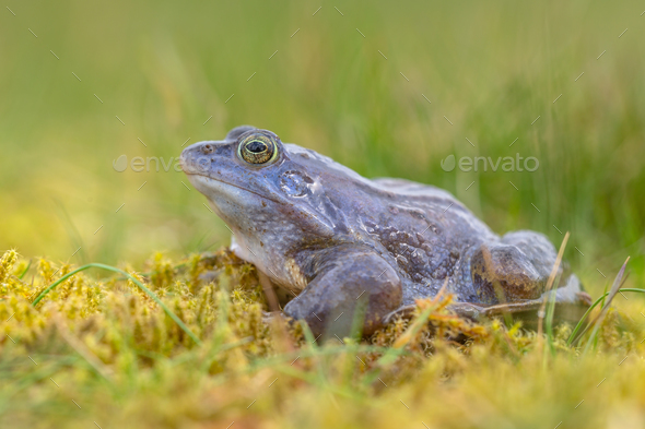 side view of Blue Moor frog - Stock Photo - Images