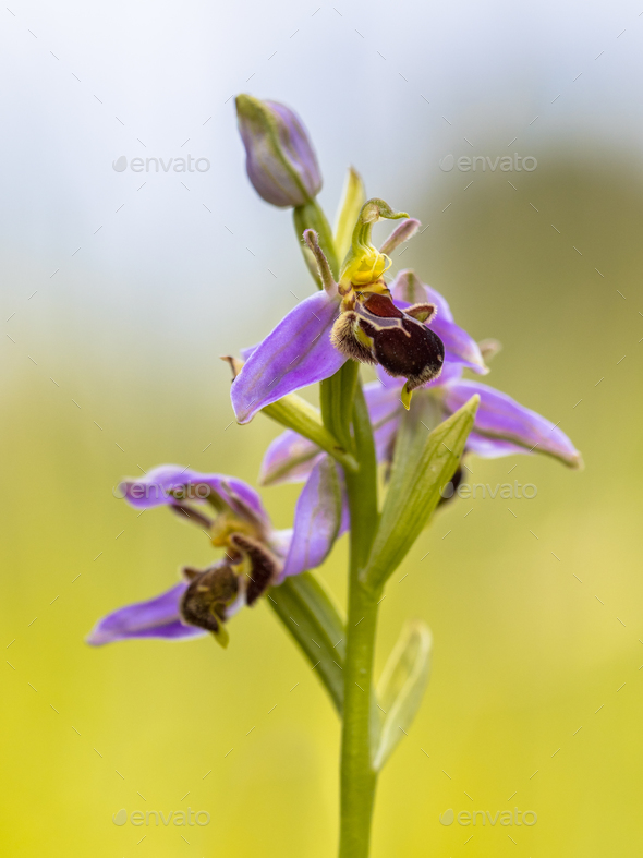 Pink flowers of Bee orchid against sky - Stock Photo - Images