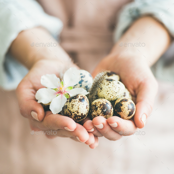Quail eggs and almond flower in woman's hands, square crop - Stock Photo - Images