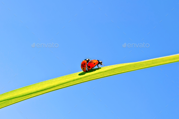 Ladybugs on background of blue sky - Stock Photo - Images