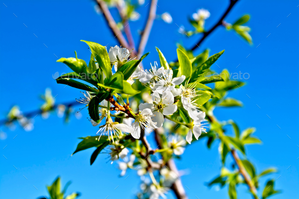 Plums flowers on branch - Stock Photo - Images