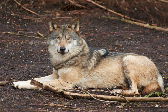 Grey Wolf (Canis lupus) - Stock Photo - Images