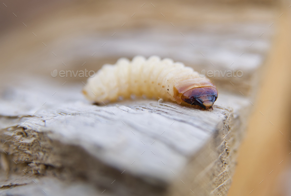 little woodworm - Stock Photo - Images