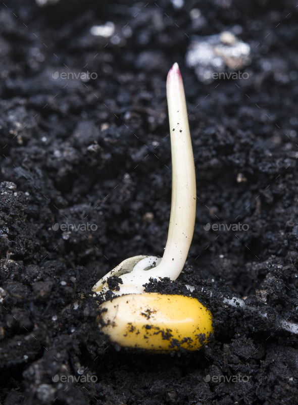 corn germination - Stock Photo - Images