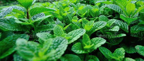 Mint leaves - Stock Photo - Images