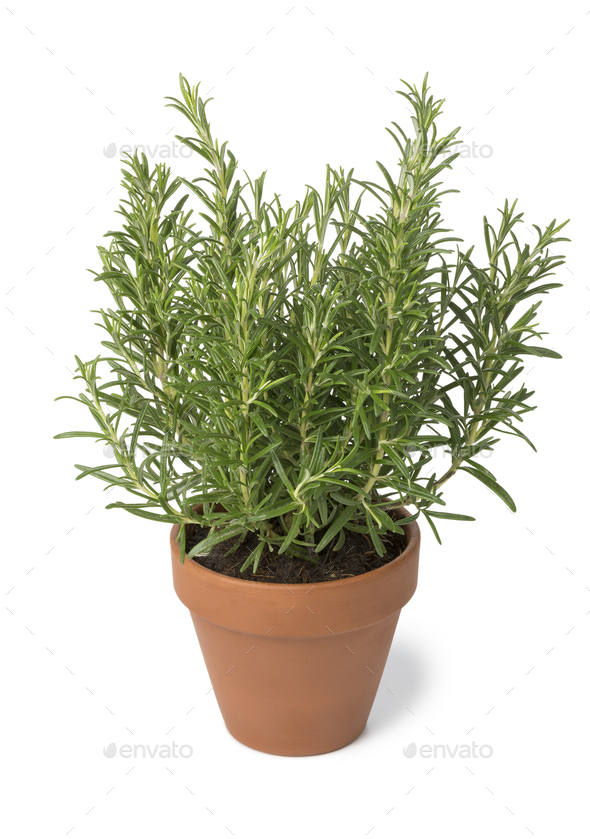 Brown terra cotta pot with fresh italian rosemary - Stock Photo - Images