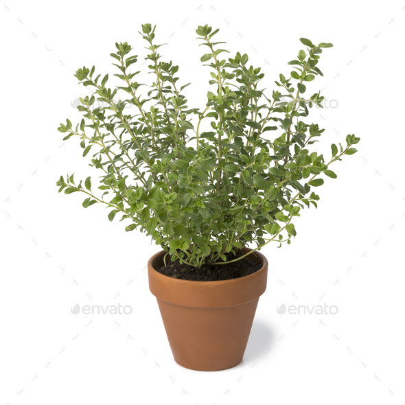 Brown terra cotta pot with fresh Oregano - Stock Photo - Images