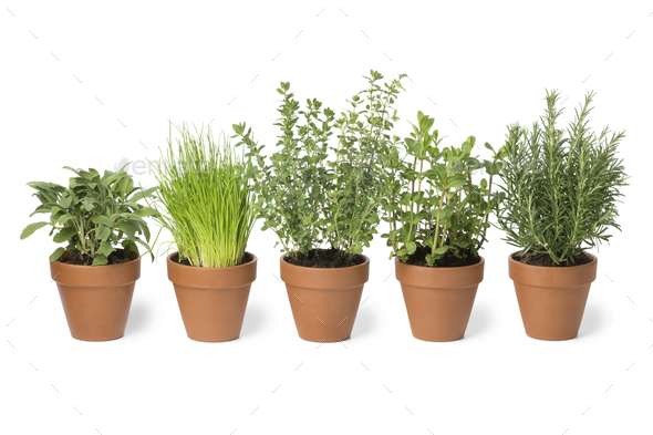 Row of brown terra cotta pots with fresh herbs - Stock Photo - Images