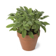 Brown terra cotta pot with fresh sage - PhotoDune Item for Sale