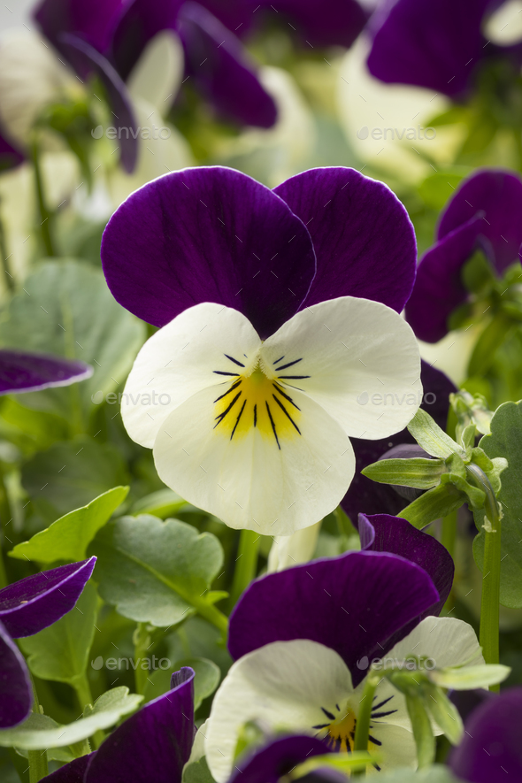Viola flowers - Stock Photo - Images