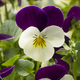 Viola flowers - PhotoDune Item for Sale
