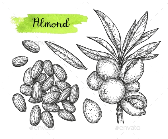 Ink Sketch of Almond - Food Objects