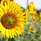 SunFlower With Bees - VideoHive Item for Sale