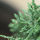 Macro Tree Or Leyland Cypress Tree - VideoHive Item for Sale