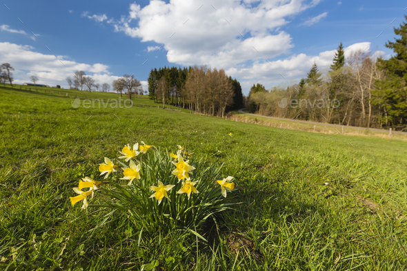 Daffodils And Meadow In The Eifel, Germany - Stock Photo - Images