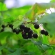 Bush with Blackcurrant Berries in the Garden - VideoHive Item for Sale