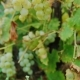 Bunches of Ripe White Grapes. Vineyard Near Lake Ontario, United States - VideoHive Item for Sale