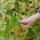 Female Hands Cut Grapes. Ripe White Grapes in the Vineyard, Lake Ontario - VideoHive Item for Sale
