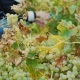 Work in the Vineyard. Collect Ripe Bunch of White Grapes - VideoHive Item for Sale