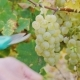 Hands with Scissors Cut a Bunch of White Grapes. - VideoHive Item for Sale