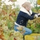 Young Woman Gathers the Grape Harvest - VideoHive Item for Sale