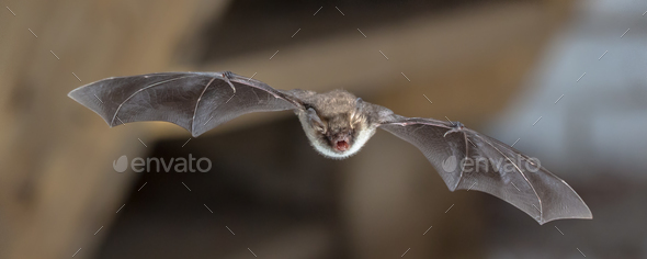 Natterers bat in flight on attic - Stock Photo - Images