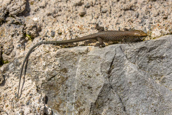Greek rock lizard on stone wall - Stock Photo - Images
