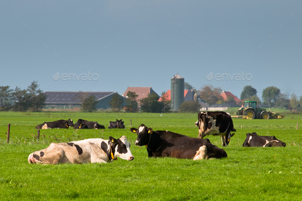 Cows are resting with farm and tractor in backdrop - Stock Photo - Images