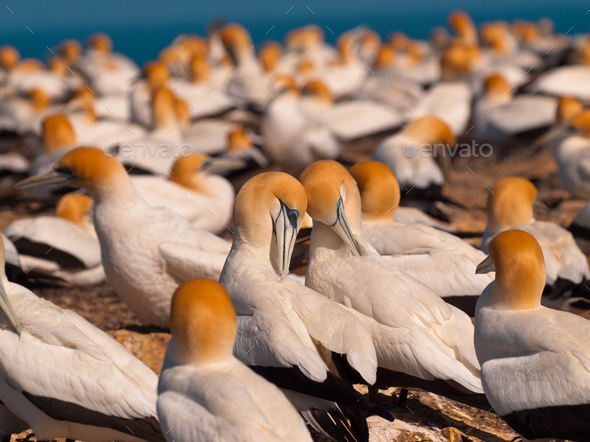 Gannet colony - Stock Photo - Images