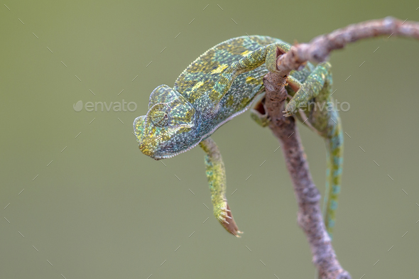 African chameleon climbing on branch - Stock Photo - Images