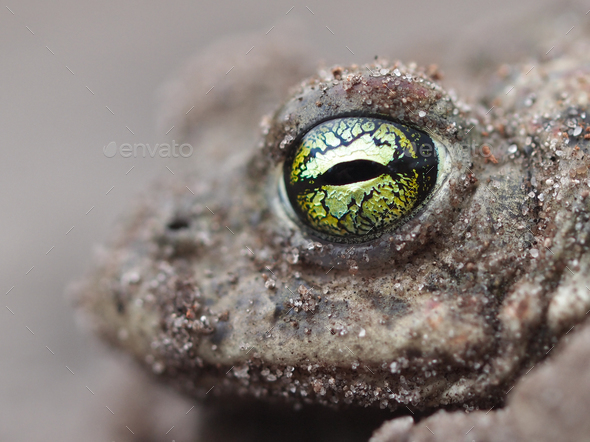 yellow eyes of a Natterjack toad - Stock Photo - Images