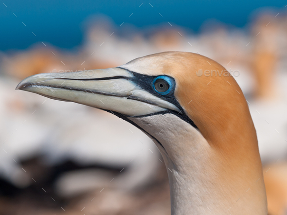 Close up Gannet head - Stock Photo - Images