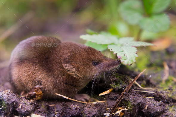 Common shrew (Sorex araneus) close up - Stock Photo - Images