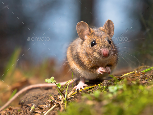 Wild wood mouse - Stock Photo - Images
